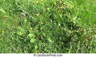 scythe tool used  for lawn meadow
