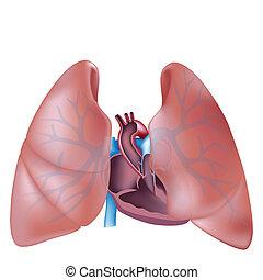 seção, coração, pulmões, crucifixos