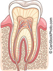 seção, ilustração médica, dente