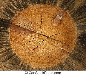seção transversal, de, árvore