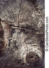 seção transversal, de, antiga, hardwood, árvore
