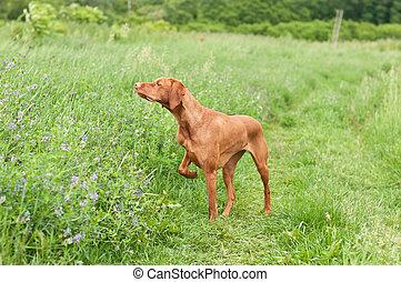 señalar, perro, (hungarian, pointer), campo, vizsla