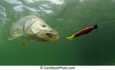 señuelo, perseguir, pez, snook