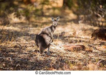 se, känguru