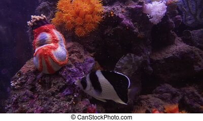 Sea anemones are a group of marine, predatory animals of order Actiniaria stock footage video