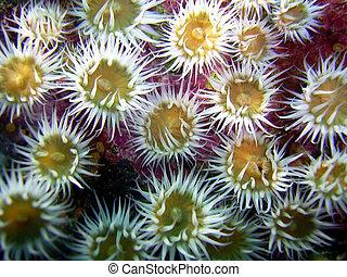 Sea Anemones Underwater - Colony of sea anemones underwater.