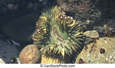 Sea Anenome In California Tide Pool