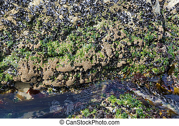 Sea beach rock during low tide covered with seaweed,...