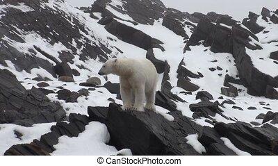 Sea bear go on snow in tundra of Spitsbergen.Travel in...