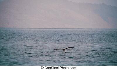 Sea Bird Osprey flying over the Red Sea. - Sea Bird Osprey...