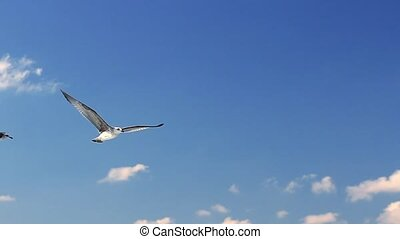 Seagull in flight over the sea looking for food.