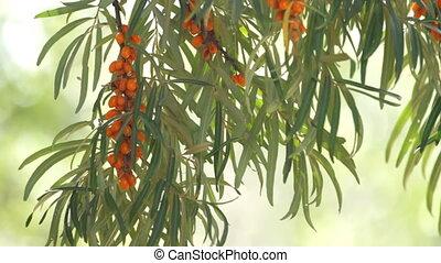 sea buckthorn berries - branch of sea buckthorn berries