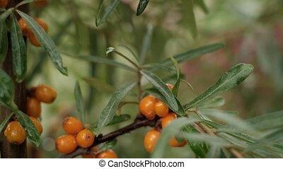 Sea buckthorn bush and orange berries in garden.