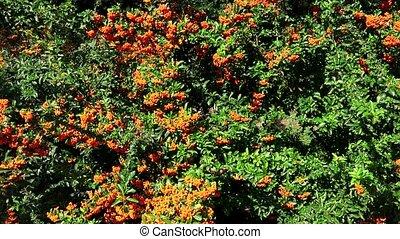 Sea buckthorn. Bush with orange berries. 4K.