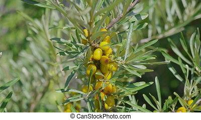Sea-buckthorn yellow on the branch tree autumn.