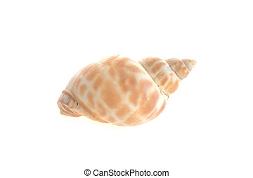 sea cockleshell lies on white surface