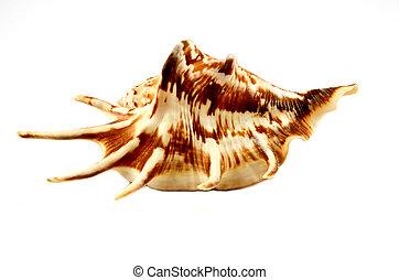 cockleshell - Sea cockleshell