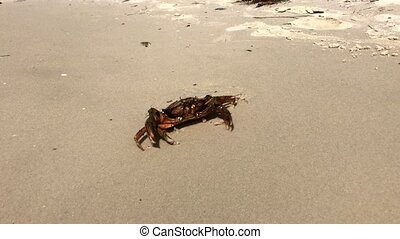 sea crab on a sandy beach