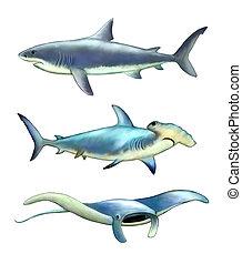 White shark, hammerfish and manta ray. Digital illustration.