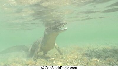 sea Crocodile saltwater Cuba island - Cuba Caribbean Sea...