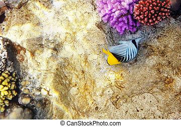 sea., diagonal, peixe, egito, butterfly., coral vermelho