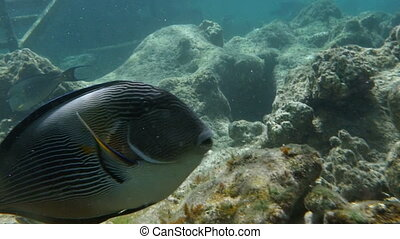Slow motion close-up shot of a sohal surgeonfish swimming underwater. Large representative of species dwelling in coral reefs of Red Sea, Egypt