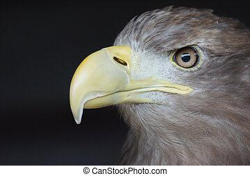 Sea Eagle / haliaeetus albicilla - Profile Of A Sea Eagle