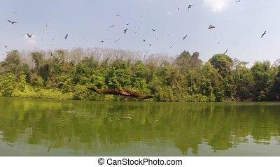 Sea-eagle,The red eagle's foraging