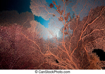 Sea fan and coral reef in the Red Sea.