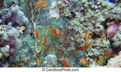 Sea fan (Annella sp.) feeding underwater in Red Sea. Egypt 4K