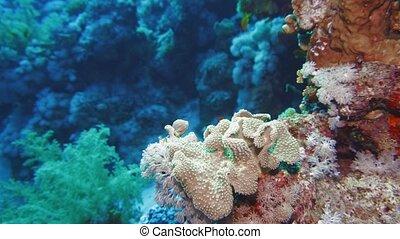Sea fan Annella sp. feeding underwater in Red Sea. Egypt - ...