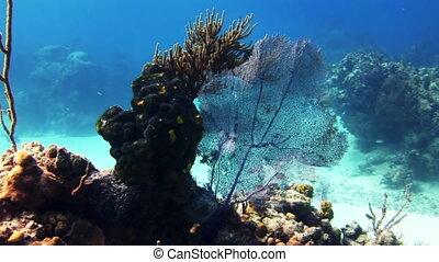 Sea fan, gorgonian coral in Bahamas reef.