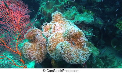 Red sea fan coral, Papua New Guinea, Milne Bay
