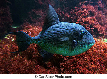sea fish in red back - underwater scenery with blue and...