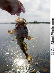sea fishing the Arctic circle - fishing sculpin the sea in...