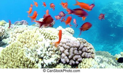 Sea goldie shoal - Shoal of Sea goldie, swimming around a...