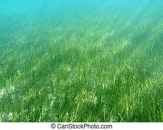 Sea Grass in Florida's Gulf of Mexico.