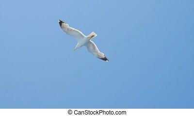 Bird flying in blue sky. Seabird in flight, Mediterranean Sea, Aegean Sea. Gull, sea bird. Wild bird flying high in the sky. Wild nature. Blue sky with birds flying in it. Freedom concept