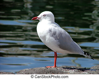 Sea gull - Herring gull