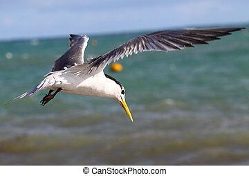 Sea Gull in Australia