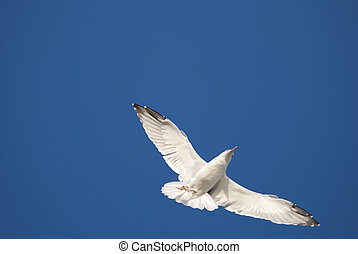 Sea gull - The sea gull flies past in seach of food