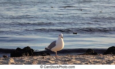 Sea gull walks along the sandy shore, in the background splashes of waves and a fresh breeze