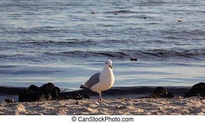 Sea gull walks along the sandy shore, a fresh breeze blows
