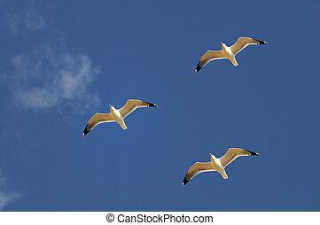 Sea gulls and sky  - Three sea gulls in the sky