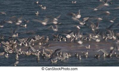 Sea Gulls Feeding Frenzy close - A horde of gulls in a...