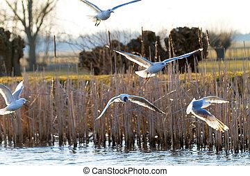 Sea gulls over the river