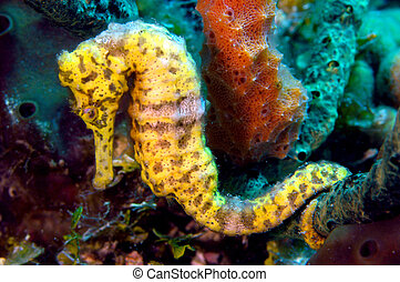 Sea horse - A beautiful yellow longsnout seahorse uses its...