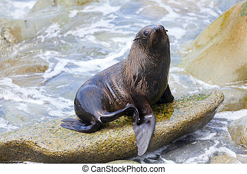 Sea Lion - A Hooker's Seal Lion resting on a rock on the New...