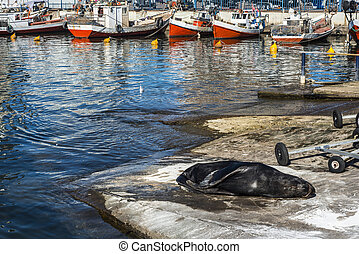 Sea lion basking in the sun in the marina port of Punta del ...