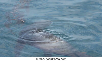Sea Lion Beneath Surface Of Water - Sea Lion Swimming In...